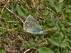 Adonis Blue (Lysandra bellargus). Copyright 2009 Peter Drury