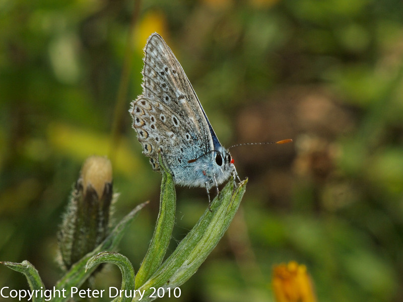 Chalk-hill Blue (Lysandra coridon). Note the red mite which would have been picked up when the butterfly roosted in the grass overnight. Copyright Peter Drury 2010