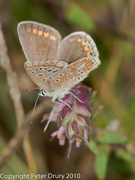 11 Aug 2010 - Common blue (Polyommatus icarus) female. Copyright Peter Drury 2010