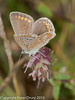 11 Aug 2010 - Common blue (Polyommatus icarus) female. Copyright Peter Drury 2010