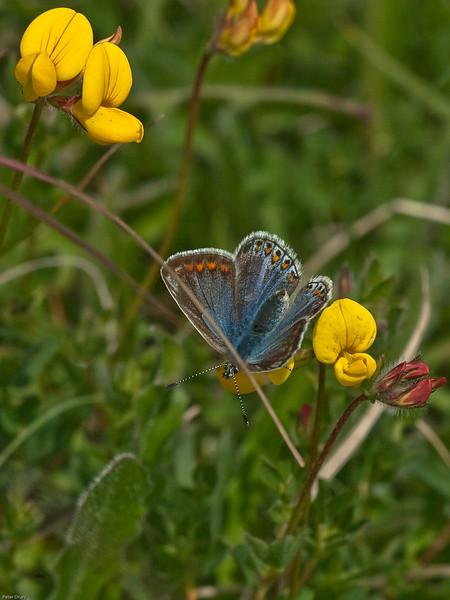 common blue (Polyommatus icarus) on Bird'sfoot Trefoil
