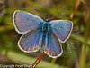common blue (Polyommatus icarus). Copyright Peter Drury 2010