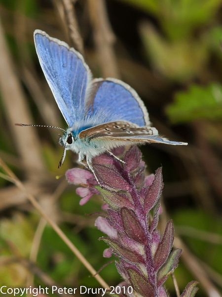 11 Aug 2010 - Common blue (Polyommatus icarus) male. Copyright Peter Drury 2010