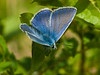 common blue (Polyommatus icarus) male. Copyright Peter Drury 2010