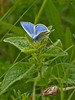 Common blue (Polyommatus icarus). Copyright 2009 Peter Drury