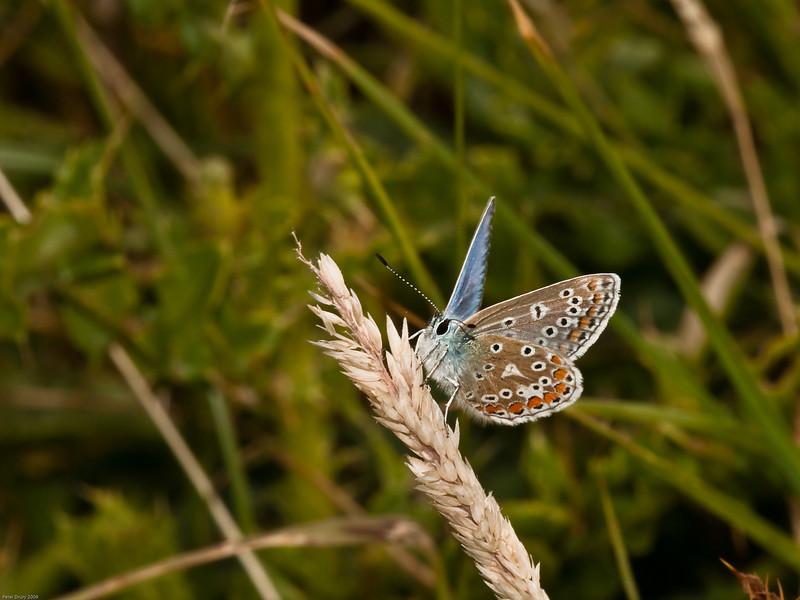 Common Blue. Copyright 2009 Peter Drury