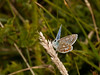Common Blue. Copyright 2009 Peter Drury