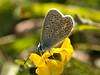 common blue (Polyommatus icarus). Copyright 2009 Peter Drury