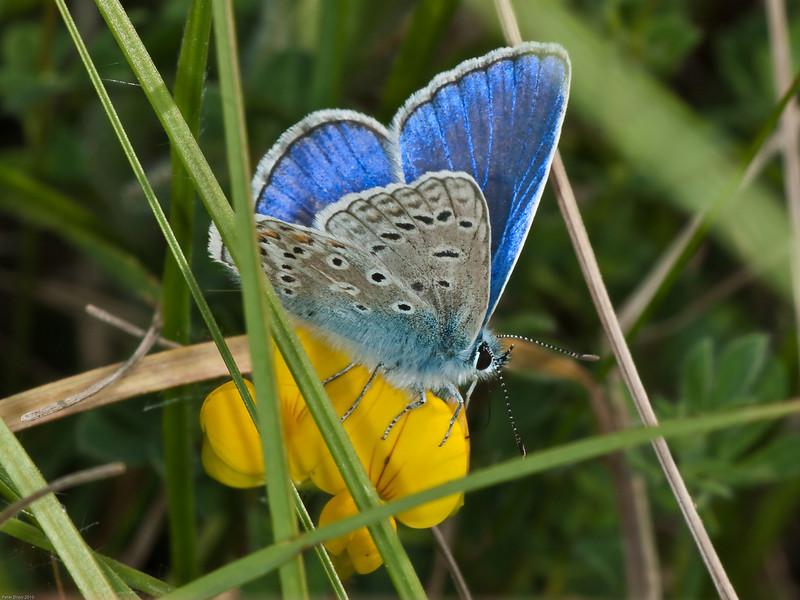 common blue (Polyommatus icarus). Male Copyright Peter Drury 2010