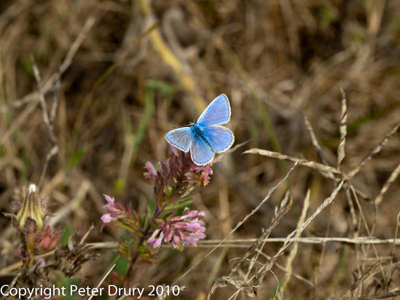 11 Aug 2010 - Common blue (Polyommatus icarus) male. Copyright Peter Drury 2010