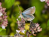 31 Aug 2010 - common blue (Polyommatus icarus) female, seen at Fort Widley, Portsdown Hill. Copyright Peter Drury 2010