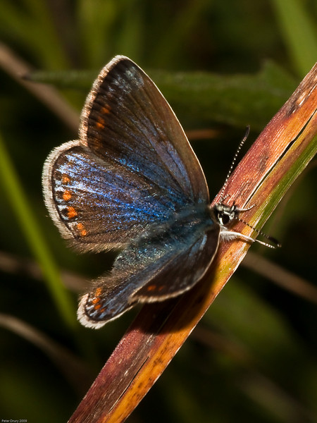common blue (Polyommatus icarus) male. Copyright 2009 Peter Drury