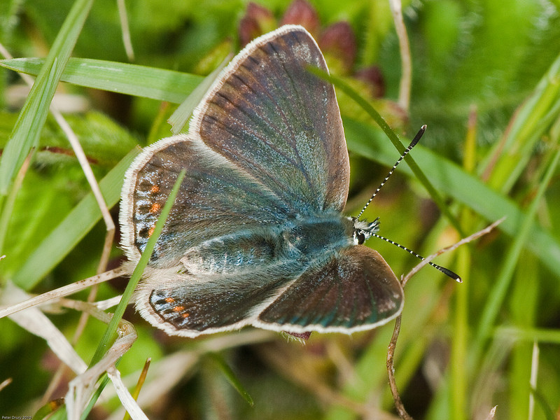 common blue (Polyommatus icarus) female. Copyright Peter Drury 2010