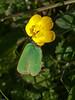 Green Hairstreak (Callophrys rubi). Copyright 2009 Peter Drury