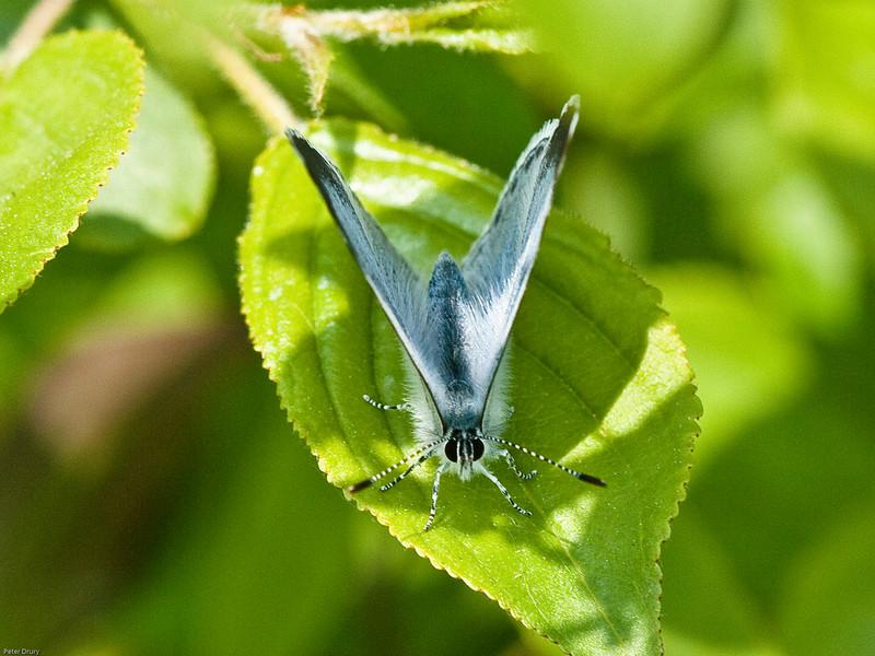 Holly Blue (Celastrina argiolus). Copyright 2009 Peter Drury