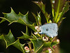 Holly Blue (Celastrina argiolus). Copyright Peter Drury 2010<br /> The female here is laying eggs on the flower buds.