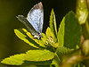 Holly Blue (Celastrina argiolus). Copyright 2009 Peter Drury