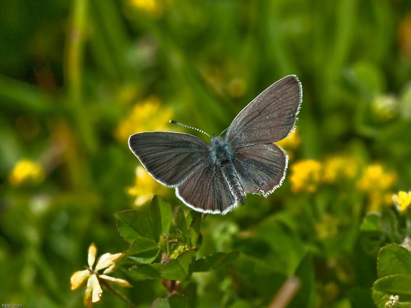 Small Blue (Cupido minimus) on Kidney Vetch. Female.
