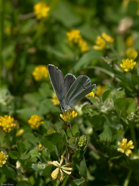 Small Blue (Cupido minimus) on Kidney Vetch