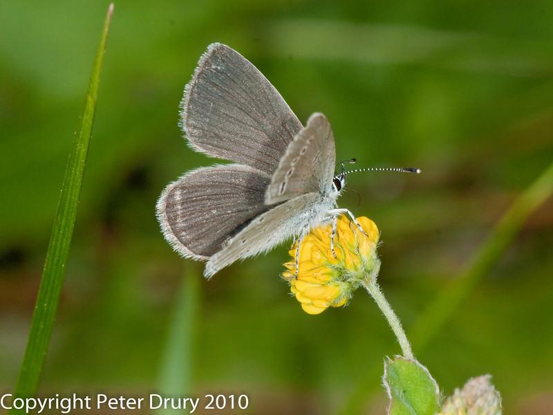 Small Blue (Cupido minimus). Copyright Peter Drury 2010