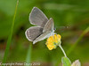 Small Blue (Cupido minimus). Copyright Peter Drury 2010