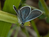 Small Blue (Cupido minimus). Male. Copyright Peter Drury 2010