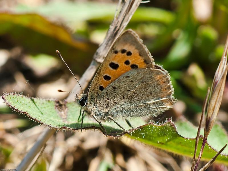04 Jun 2010 - Small Copper (Lycaenidae phlaeas) seen at Broadmarsh, Langstone Harbour.. Copyright Peter Drury 2010