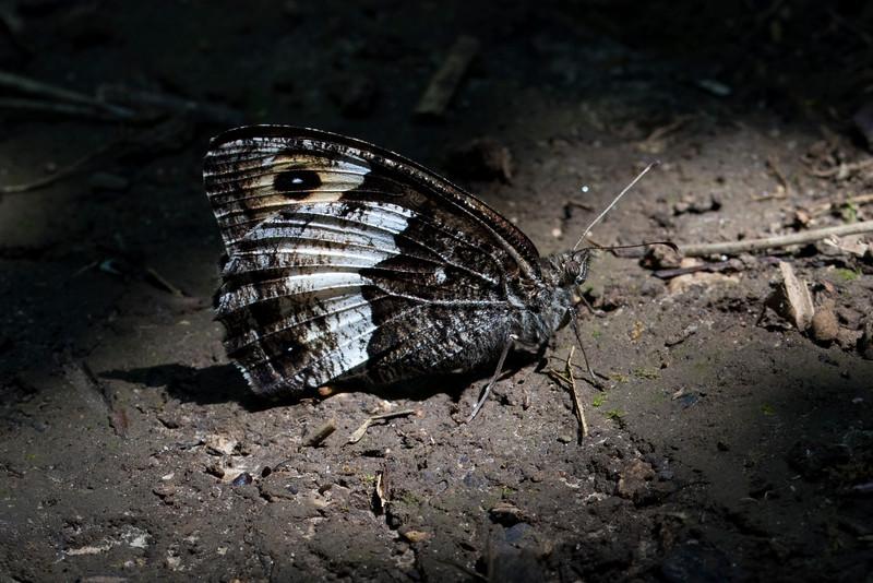 Skov-klipperandøje, Woodland Grayling (hipparchia fagi)