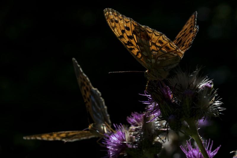 Skovperlemorsommerfugl og Kejserkåbe
