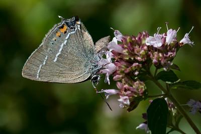 Vrietornsommerfugl (satyrium spini)