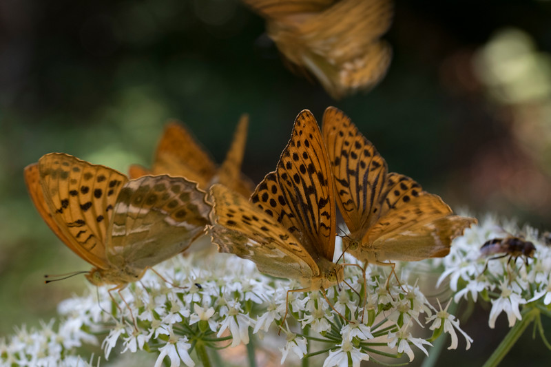 Kejserkåber og en overflyvende Skovperlemorsommerfugl