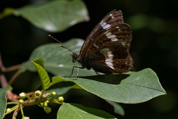 Hvid admiral (limenitis camilla)