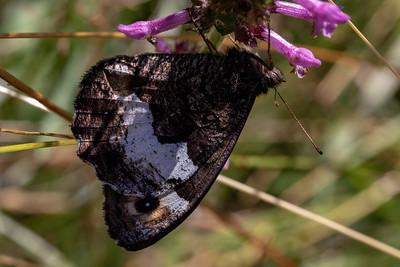 Skov- eller Lille klipperandøje, Woodland grayling or Lesser rock grayling (Hipparchia Genava or fagi)