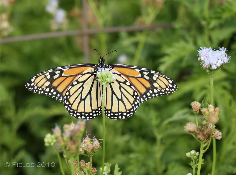 Monarch Butterfly (female)