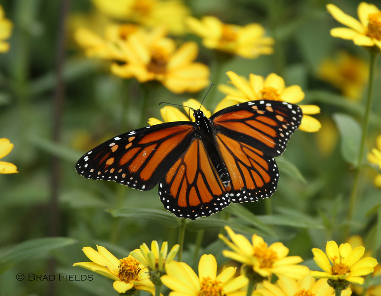 Monarch Butterfly (female)