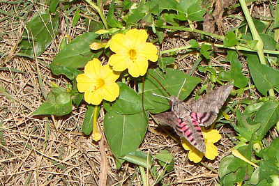 Pink-spotted Hawkmoth (Agrius cingulata). TX: Tarrant Co. (Duhons' Fort Worth yard), 18 October 2007.