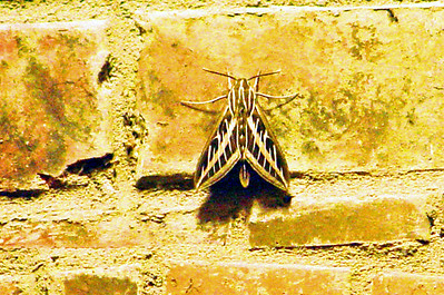 White-lined Sphinx (Hyles lineata) MOTH. TX: Tarrant Co. (Duhons' Fort Worth yard), 28 April 2008.