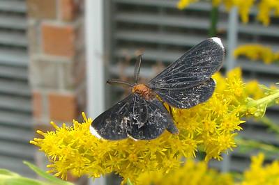 White-tipped Black (Melanchroia chephise) MOTH.  TX: Tarrant Co. (Duhons\' Fort Worth yard), 6 October 2007.