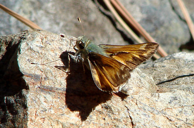 Sandhill Skipper (Polites sabuleti). OR: Baker County, 26 September 2007.