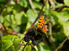 12 Sep 2011 Comma butterfly.