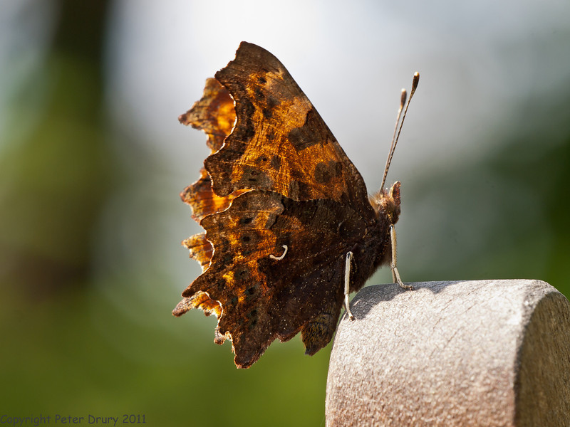 15 July 2011. Comma at Widley. Copyright Peter Drury 2011