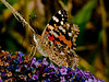Painted Lady (Vanessa cardui). Copyright 2009 Peter Drury<br /> Second generation.<br /> Waterlooville, Hampshire