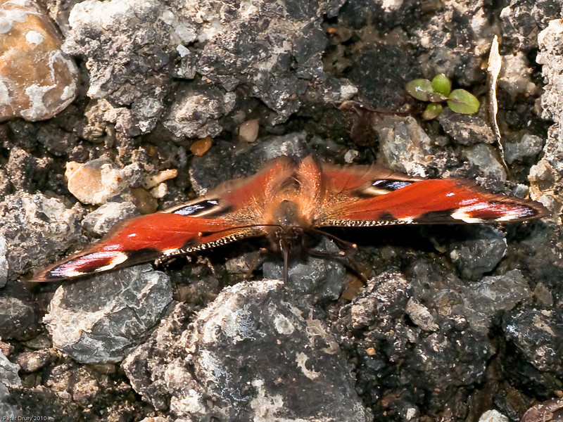 Peacock Butterfly (Inachis io). Copyright Peter Drury 2010<br /> This butterfly has found some moisure between the rocks and is drinking.