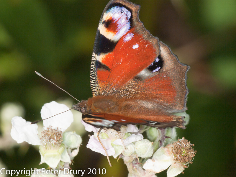 Peacock Butterfly (Inachis io). Copyright Peter Drury 2010