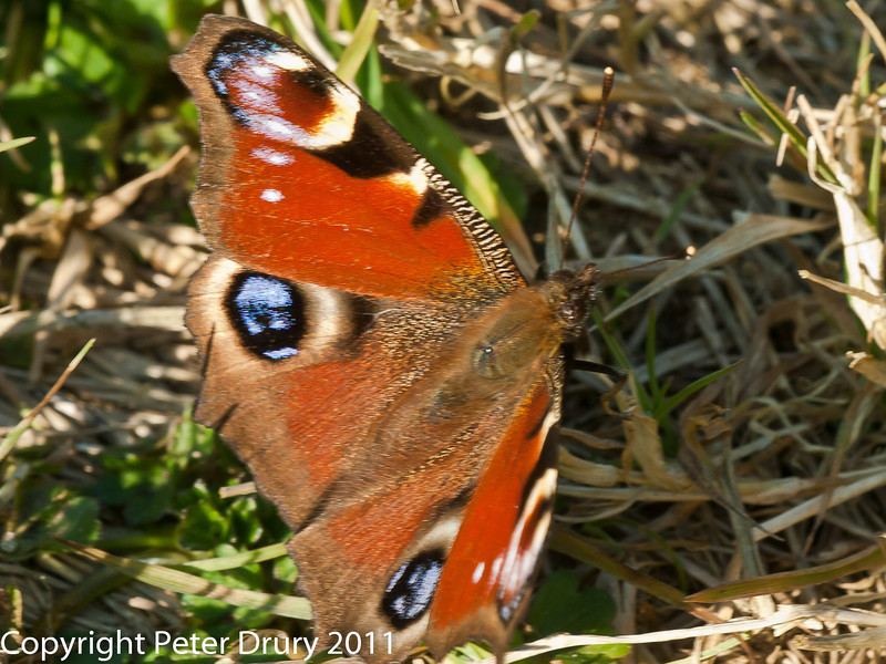 23 March 2011. Peacock butterfly at Plant Farm, Waterlooville.  Copyright Peter Drury 2011
