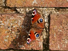 Peacock Butterfly (Inachis io). Copyright Peter Drury 2010<br /> Basking in the morning sun and preparing for another active day.