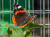 01 July 2012 Red Admiral at Widley.