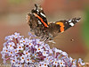 19 Aug 2010 - Red Admiral. Copyright Peter Drury 2010