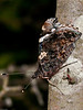 Red Admiral (Vanessa Atlanta). Copyright 2009 Peter Drury