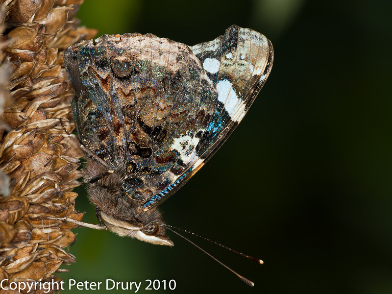08 Aug 2010 - Painted Lady at Plant Farm. Copyright Peter Drury 2010